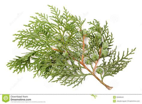 leaves of pine tree stock image image of green christmas