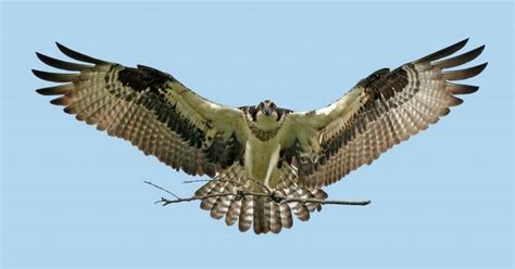 flight of the hawk the river a novel of the american west books hawks in flight