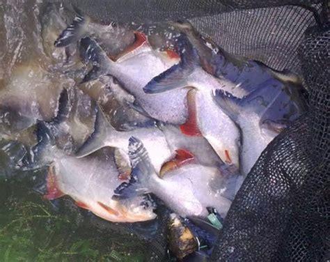 Budidaya Jentik Nyamuk Untuk Pakan Ikan warung singkawang februari 2014