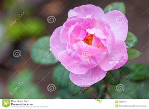 water drops on pink wild rose iowa pictures iowa wild pink rose stock photo image 45218770