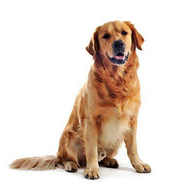 golden retriever vs labrador retriever comparison breeds comparison golden retriever vs labrador retriever