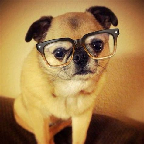 pugs glasses pug pug culture glasses
