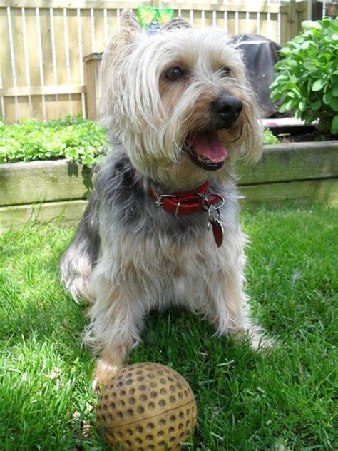 austrailian silky terrier haircut 1000 images about silky terriers on pinterest puppys