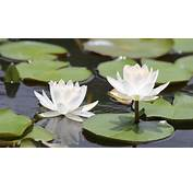Beautiful Lotus Flower Blossoming In The Natural Pond