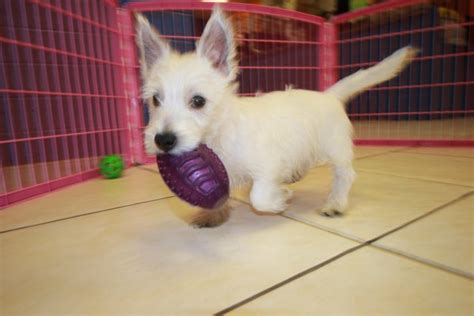 westie puppies for sale in ga wonderful west highland white terrier puppies for sale in ga at puppies for sale