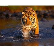 Tiger Pictures &171 Animal Spot