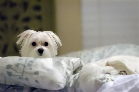 Puppy In Bed by 9 Tips For Sleeping Soundly With A In The Bed Mnn