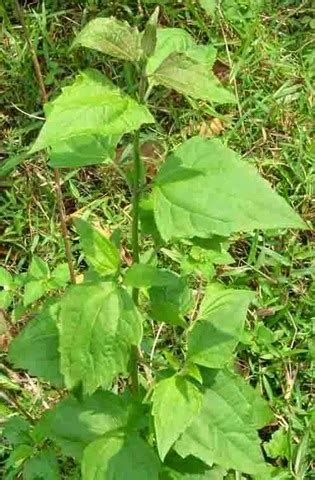 kotak band yolanda supplements for healths rahsia herba pokok kapal terbang