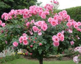 Patio Tree Rose Patio Tree Roses Standard Tree Roses Buy A Patio Tree