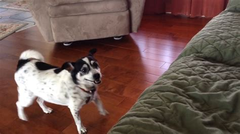 stop puppy from jumping on couch dog finally learns how to jump on the couch youtube