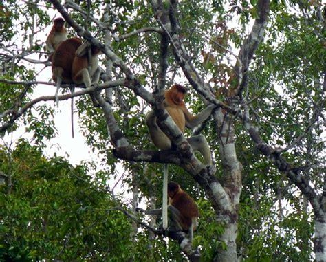 why do monkeys swing on trees jjmoon diary kumai 2