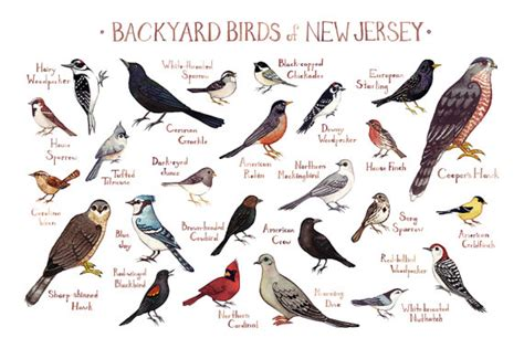 new jersey backyard birds field guide art print watercolor