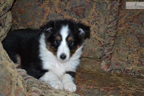 sheltie puppies for sale in nc shetland sheepdog sheltie puppy for sale near asheville carolina 112e978c fef1