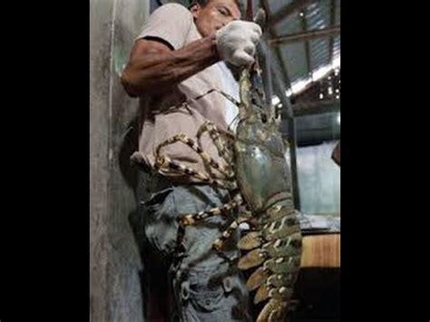 mancing udang galah terbesar air tawar youtube
