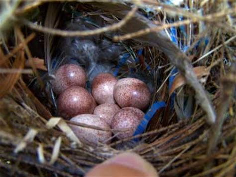 house wren nest eggs and young identification with photos