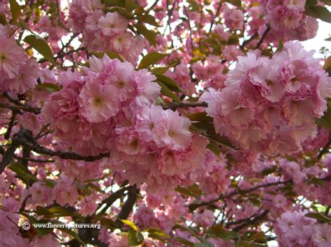 pictures of cherry tree blossoms