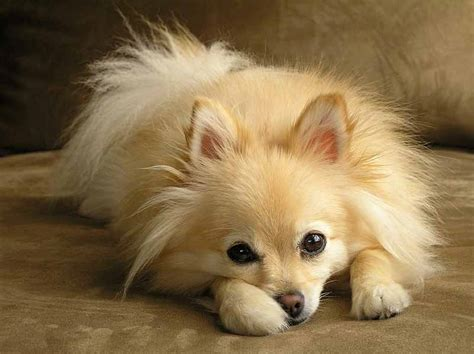 top pomeranian pomeranian names for your or puppy