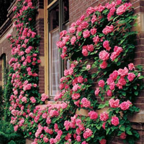 facing climbing plants rosa zephirine drouhin climbing great for