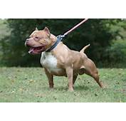 American Pitbull Dog Facts And New Photos  All Wildlife Photographs