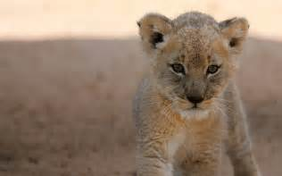 baby lion wallpapers baby animals