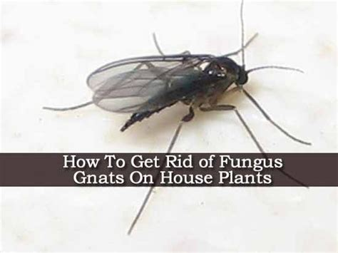 how to get rid of gnats in your house pinterest the world s catalog of ideas