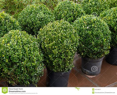 Shrubs For Planters by Topiary Bushes Stock Photo Image 46148977