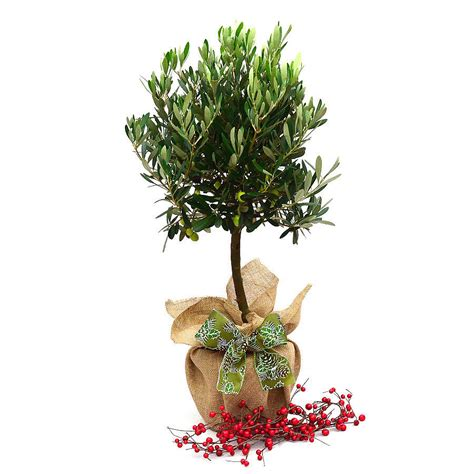 birthday plants olive tree gift by giftaplant