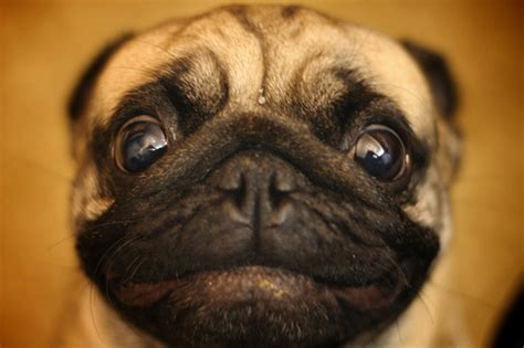 big eyed pug photo of the day what big you reflections