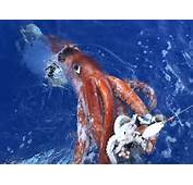 Giant Squid Pictures Facts  National