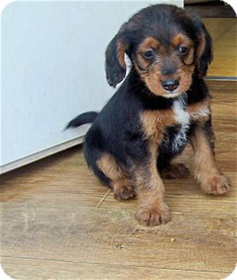 shih tzu rochester ny rochester ny cocker spaniel shih tzu mix meet tessa a puppy for adoption