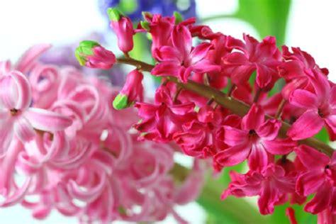 significato dei fiori giacinto significato dei fiori il giacinto pollicegreen