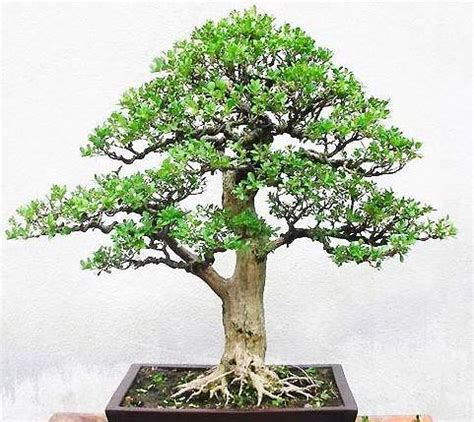 Bakalan Bonsai Beringin Dari Bibit bakalan bonsai beringin bibit