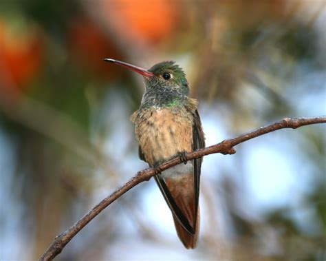 buff bellied hummingbird outdoor alabama