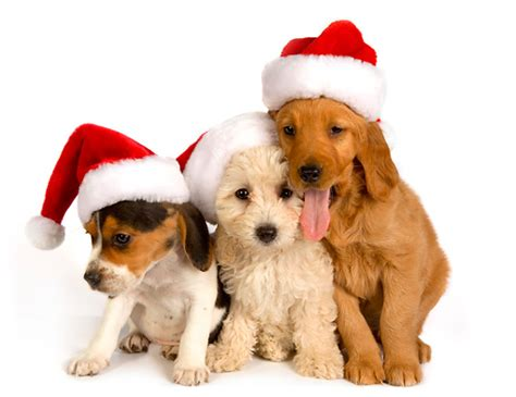 puppy with santa hat santa hat animal stock photos kimballstock