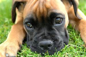 More baby boxer dogs pictures