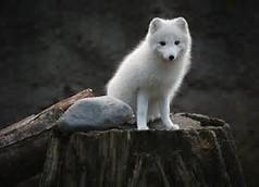 Cute Baby Animals White Fox