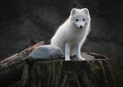 Animal White Wolf Cub