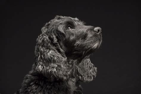why are dogs called dogs the black dogs project sheds light on black