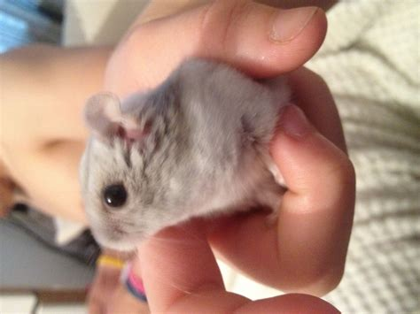 Baby Russian dwarf hamsters for sale in Spondon   Derby