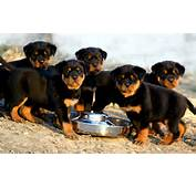 Rottweiler Dog Breed Is Worldwide Most People Who Have S