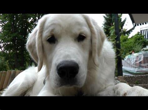 golden retriever 8 months henry the golden retriever april 2012 18 months funnydog tv
