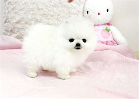 pomeranian puppies for sale el paso adorable pedigree pomeranian puppies ready for sale adoption from el paso colorado