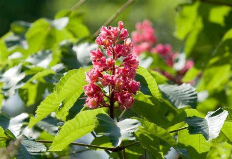 fiori di bach ansia da esame fiori di bach chestnut castagno rosso per non