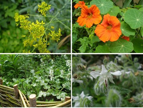 herb garden plants dye herbs herb society uk