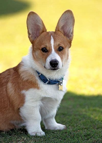 corgi dogs for sale corgi puppies for sale
