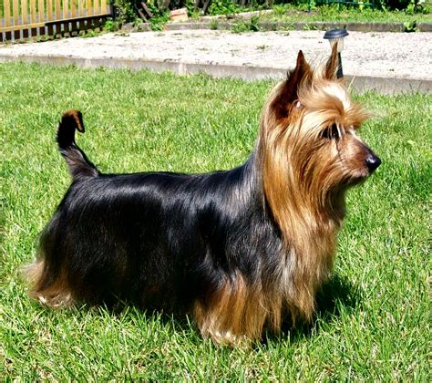 silky terrier puppies silky terrier puppies rescue pictures information temperament characteristics