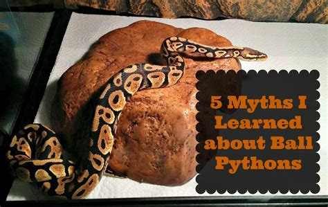 Ball Python Giveaway 2017 - 5 myths i learned about ball pythons naturally cracked