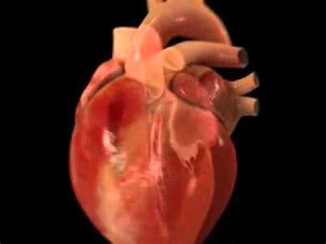 imagenes reales corazon humano movimientos del corazon youtube