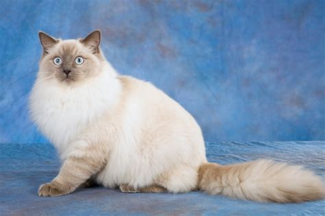 ragdoll cat breed cat pictures information ragdoll cat breed information buying advice photos and