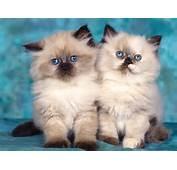 CUTE BABY CATS WALLPAPER  386 HD Wallpapers WallpapersInHQ